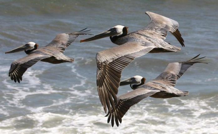 09695-pelicans