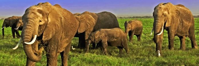 african-elephants-c2a9-martin-harvey-wwf-canon