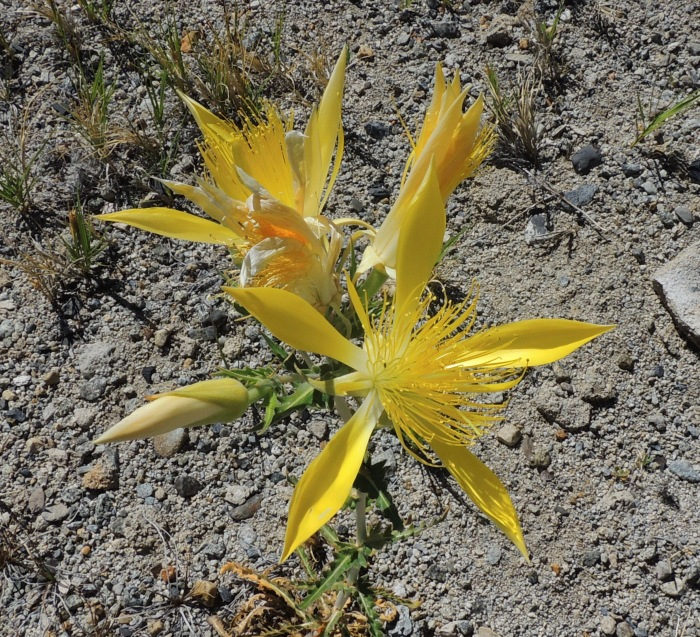 Yellow Starthistle (Centaurea solstitialis)